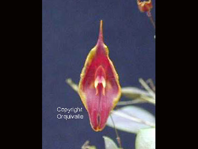 Lepanthes-chelonion-1