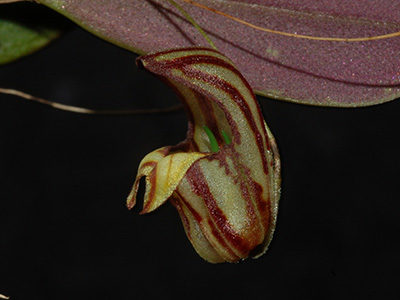 Lepanthes-ribes