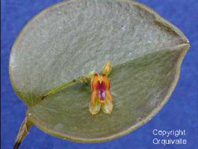 Lepanthes-rutrum-larvina