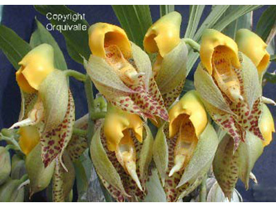 catasetum-macrocarpum