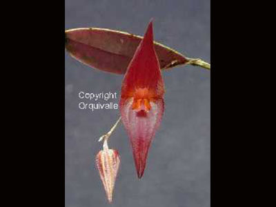 lepanthes-elegantula