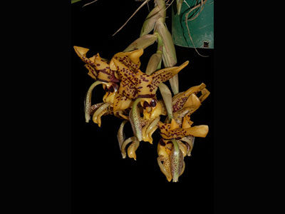 Stanhopea-Assidensis