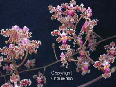 oncidium-carthagenense