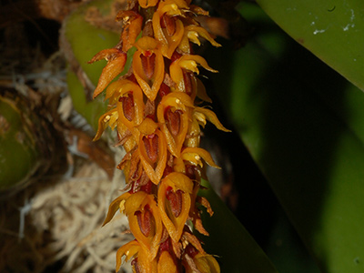 Bulbophyllum-careyanum